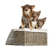 Group of dressed-up Chihuahuas looking away in a wicker basket, Stock Image