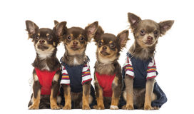 Group of dressed up Chihuahuas puppies sitting, isolated Stock Photos