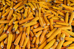 Group of Dried Corn. Heap of yellow dried corn on cob, different sizes and seeds pattern stock image