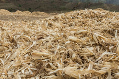 The group of dried corncobs after harvest Royalty Free Stock Photos
