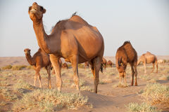 Group of dromedary camel in Iran. Dromedary camel, or one-humped camel, at the Maranjab Desert during sunrise in Esfashan, Iran Stock Photo
