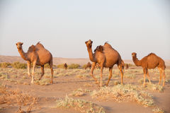 Group of dromedary camel in Iran. Dromedary camel, or one-humped camel, at the Maranjab Desert during sunrise in Esfashan, Iran Royalty Free Stock Images