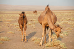 Group of dromedary camel in Iran. Dromedary camel, or one-humped camel, at the Maranjab Desert during sunrise in Esfashan, Iran Royalty Free Stock Photos