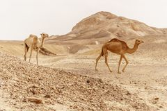 Group of dromedary camels walking in wild desert heat nature. royalty free stock images