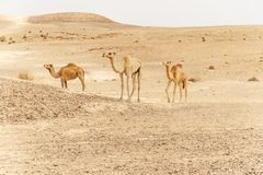 Group of dromedary camels walking in wild desert heat nature. royalty free stock image
