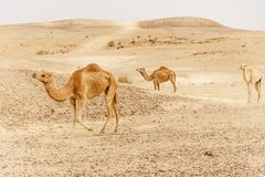 Group of dromedary camels walking in wild desert heat nature. Sandy wilderness morning Stock Image
