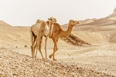 Group of dromedary camels walking in wild desert heat nature. Sandy wilderness morning Royalty Free Stock Photography