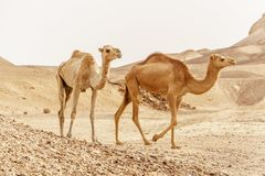 Group of dromedary camels walking in wild desert heat nature. stock photography