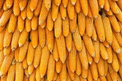 Group of dry corn Stock Photo