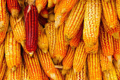 Group of dry corn Royalty Free Stock Images