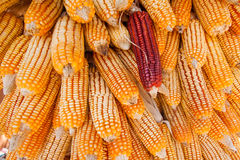 Group of dry corn Royalty Free Stock Photo