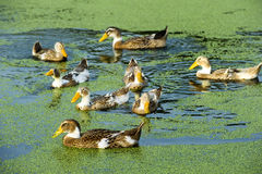 A group of duck Stock Photos