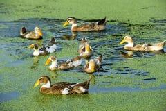 A group of duck Stock Photos