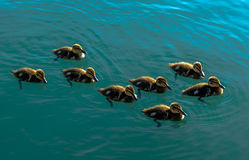 Group Of Duck Chickens Swimming In The Water Stock Photography