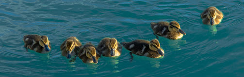 Group Of Duck Chickens Swimming In The Water Stock Images