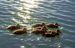 Group Of Duck Chickens Swimming In The Water Stock Image