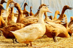 Group of duck. Royalty Free Stock Images