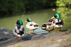 A group of duck. In a green lake Stock Photos