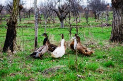 Group on duck in the orchard. Different ducks in the orchard Royalty Free Stock Photo