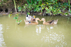 Group of duck in pond Stock Image