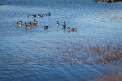 A group of duck swimming in blue waters of river Thames on a sunny day. With reeds growing in the front Stock Images