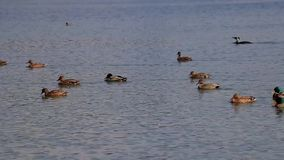 Group of duck swimming stock video