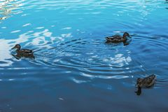 Group of duck swimming and seeking for food in the pond. Group of duck floating in the pond Stock Images