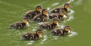 Group of duckling on lake Stock Photography