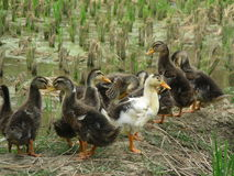 A group of duckling Stock Photo