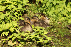 Group of ducklings Royalty Free Stock Photo