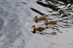 Group Ducklings Ducks Swimming on a Lake Royalty Free Stock Images