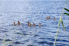 The group of ducklings floating on a lake. The picture shows a group of ducklings floating on a lake surface stock photography