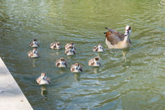 Group of Ducklings Following Mother Pond Local Small Cute Bright. Birds Wildlife Brown White Royalty Free Stock Photo
