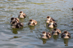 Group of Ducklings Following Mother Pond Local Small Cute Bright. Birds Wildlife Brown White Stock Image