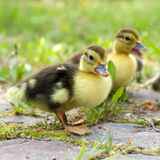 Group of ducklings on a green meadow Stock Image