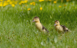 Group of ducklings on a green meadow Stock Photos