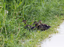 Group of  ducklings hiding in the grass Royalty Free Stock Photos