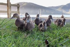Group of ducklings, on land with water in the background stock photography
