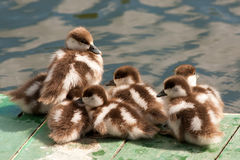 Group of ducklings on a mooring. Spring weather Stock Images