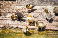 Group of Ducklings near warter. Royalty Free Stock Photography