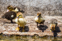 Group of Ducklings near warter. Royalty Free Stock Photo