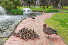 Group of ducklings with parents Stock Photo