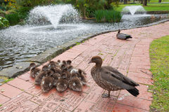Group of ducklings with parents Royalty Free Stock Images