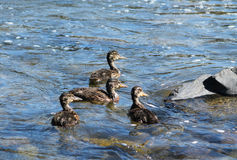 Group of ducklings. Group of several ducklings swimming together in the river Royalty Free Stock Photography
