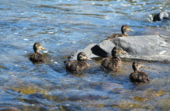 Group of ducklings. Group of several ducklings swimming together in the river Royalty Free Stock Image