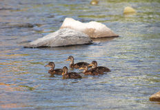 Group of ducklings. Group of several ducklings swimming together in the river Stock Image