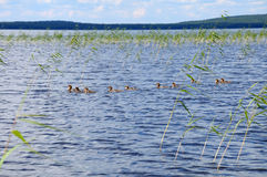 The group of ducklings trying to hide in reed. The picture shows a group of ducklings floating on a lake surface stock photography