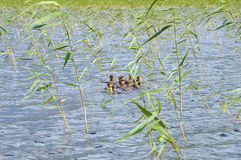The group of ducklings trying to hide in reed. The picture shows a group of ducklings floating on a lake surface royalty free stock photo