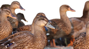 Group of ducks. With isolated background Royalty Free Stock Photography