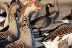 Group of ducks. Side view of group of ducks with orange beaks in park Royalty Free Stock Photos